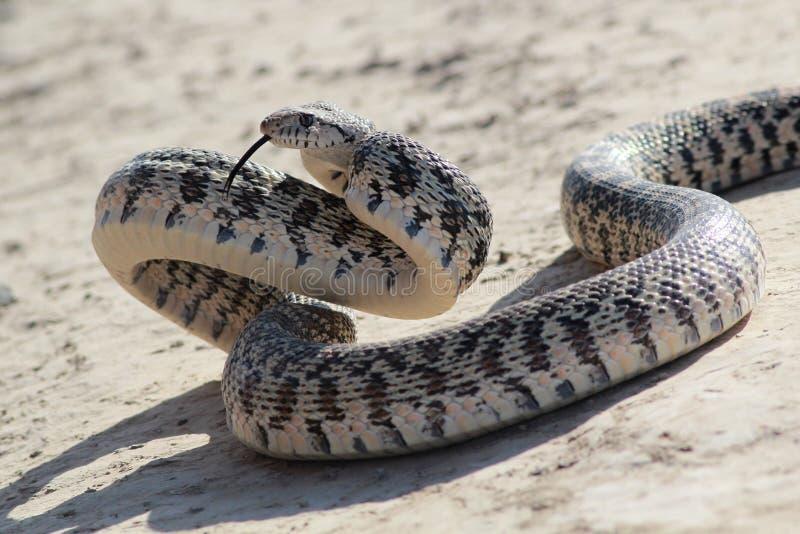 Gopher wąż w Szturmowej pozie zdjęcia royalty free
