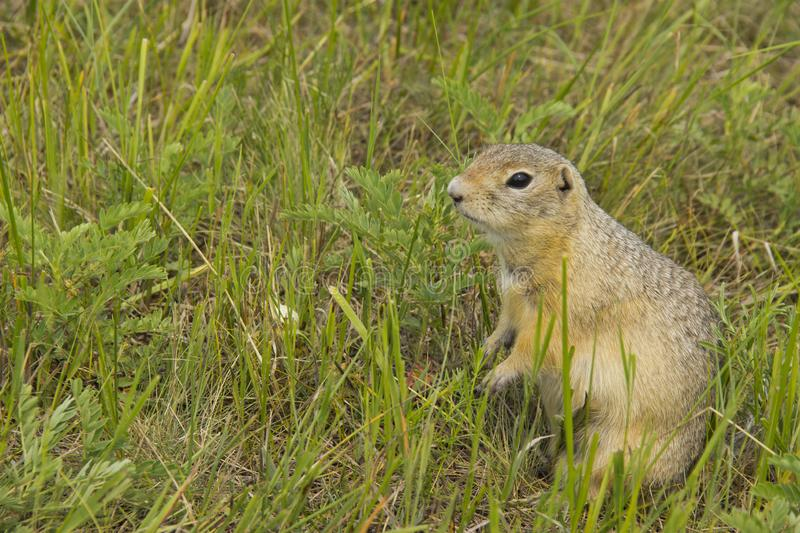 The gopher in the wild nature. The gophers climbed out of the hole on the lawn , the furry cute gophers sitting on a green meadow. In sunny day royalty free stock images