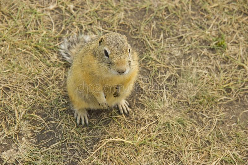 The gopher in the wild nature. The gophers climbed out of the hole on the lawn , the furry cute gophers sitting on a green meadow. In sunny day royalty free stock photo