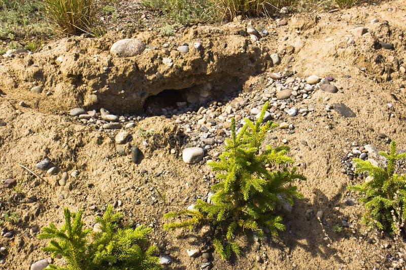 Gophergat in zandbank stock afbeeldingen