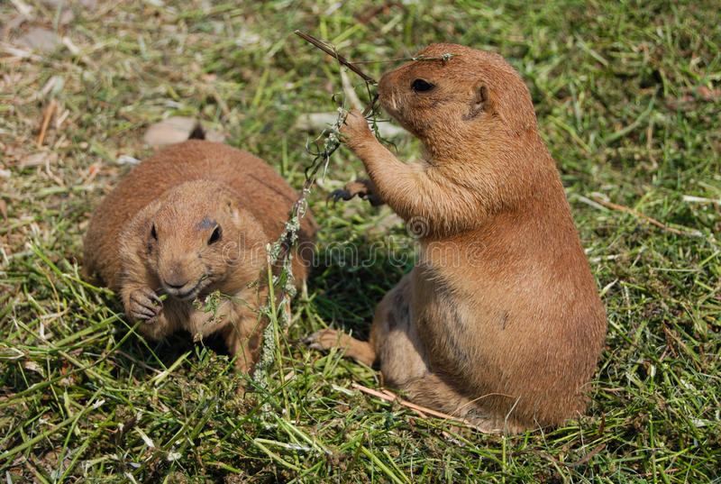Gophers. Eating grass, bathed in warm sunlight royalty free stock photo