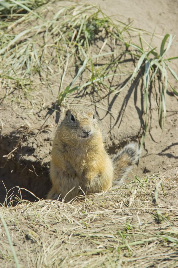 The gophers climbed out of the hole on the lawn , the furry cute gophers sitting on a green meadow in sunny day.  stock images