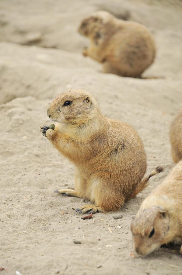 Gophers eating. In a dry field royalty free stock photo