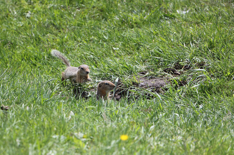 Gophers in a green grass. Near a mink royalty free stock photos
