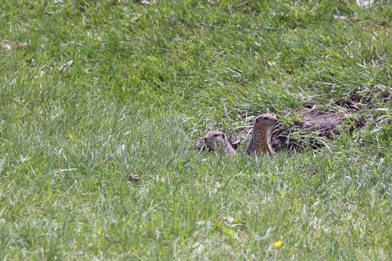 Gophers in a green grass. Near a mink stock photography