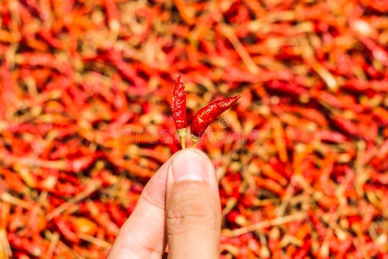 Gorący i korzenny Czerwony chili na ręce, Wysuszony czerwony chili, pieprz, Chillies jako tło dla sprzedaży w lokalnym jedzenie r zdjęcie stock
