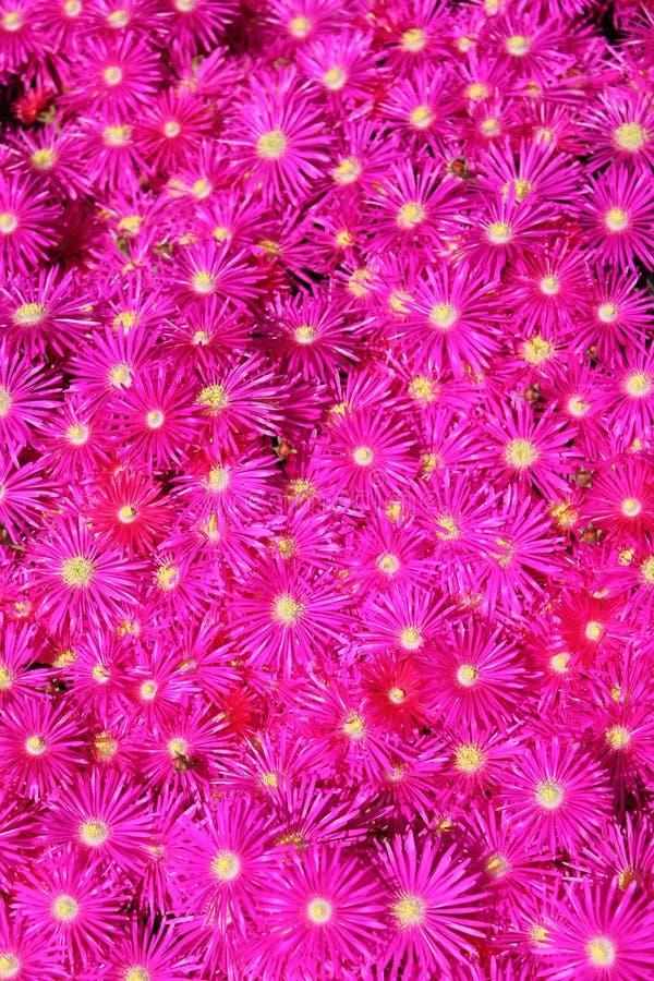 Gorących menchii Migocąca Lodowa roślina obrazy royalty free