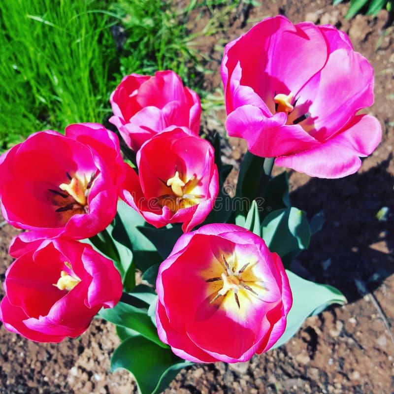 Gorących menchii tulipanu kwiaty zdjęcia stock