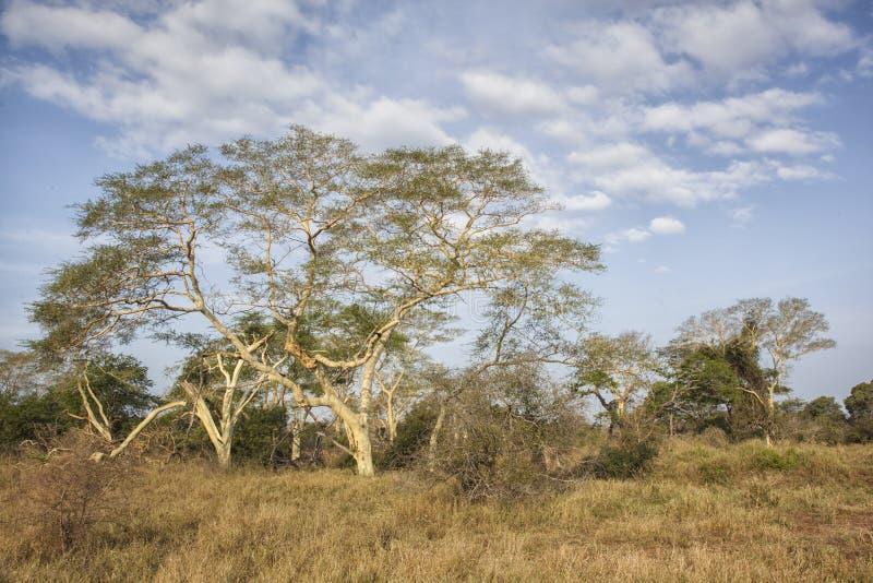 Gorączkowi drzewa zdjęcie stock