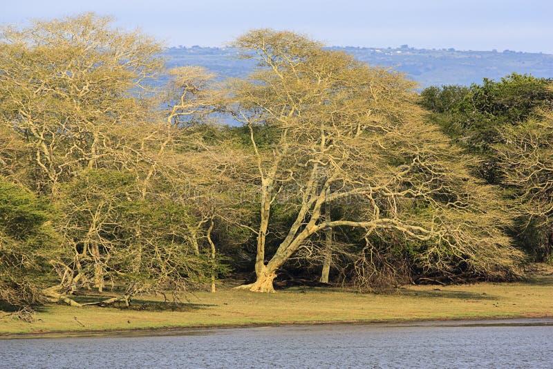 Gorączkowy drzewo Forrest zdjęcie stock