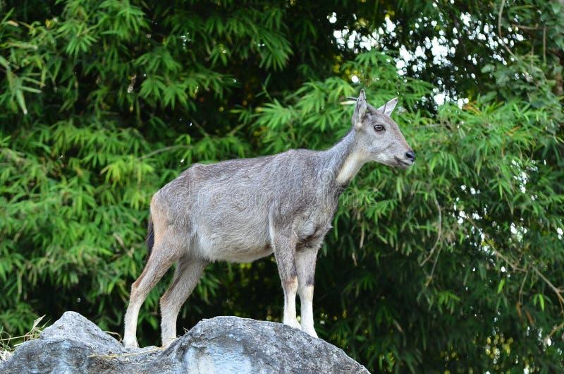 Goral που στέκεται στο βράχο στοκ φωτογραφίες με δικαίωμα ελεύθερης χρήσης