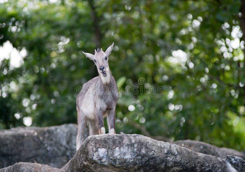 Goral που στέκεται στο βράχο στοκ εικόνα με δικαίωμα ελεύθερης χρήσης