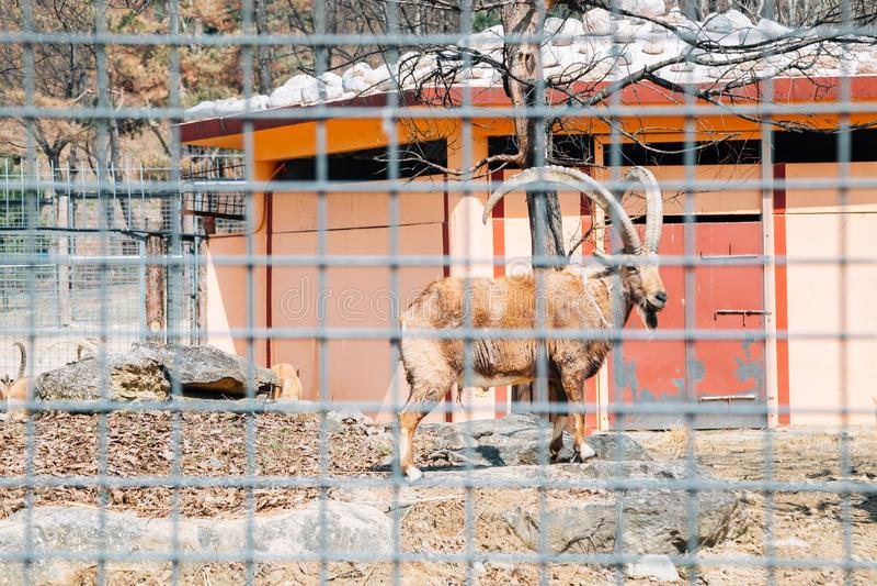 Goral στο μεγάλο ζωολογικό κήπο πάρκων της Σεούλ σε Gwacheon, Κορέα στοκ εικόνες με δικαίωμα ελεύθερης χρήσης