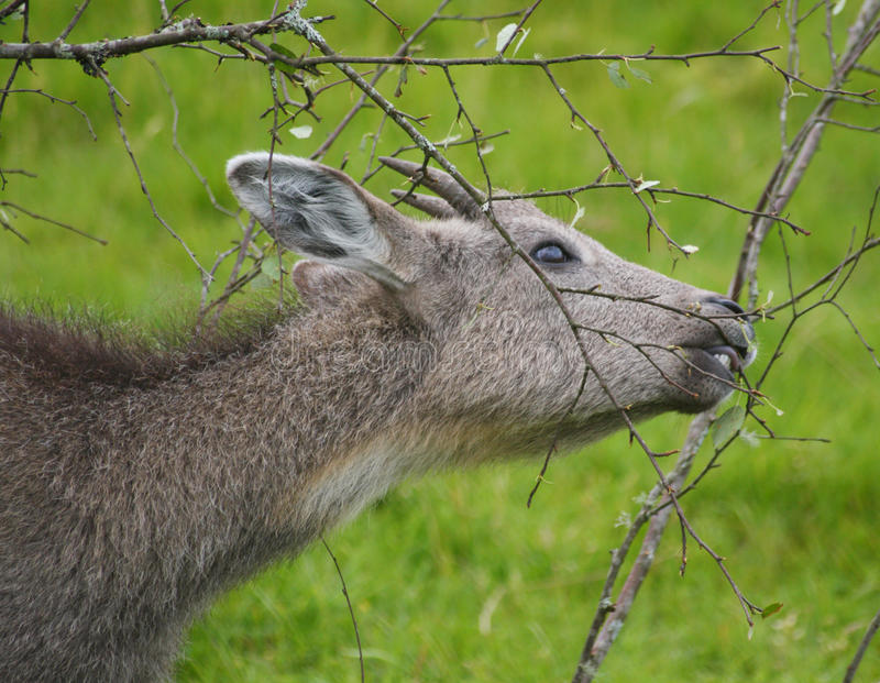 Download Goral stock photo. Image of grass, chinese, conservation - 15421594