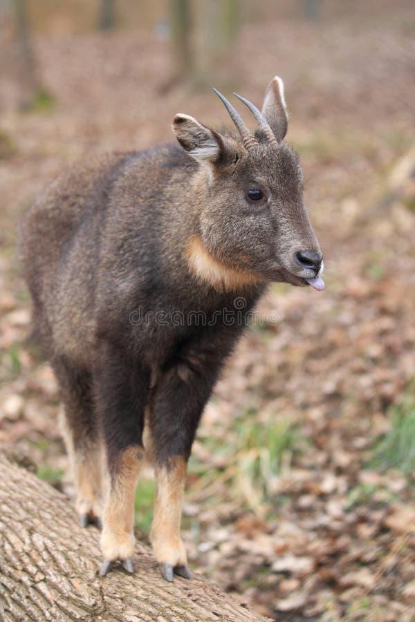 Goral Long-tailed images libres de droits