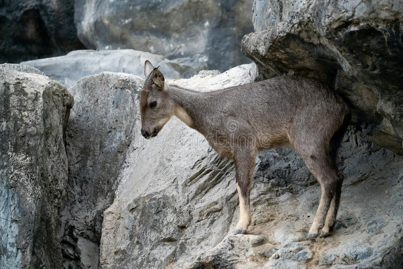 .goral standing on the rock royalty free stock images