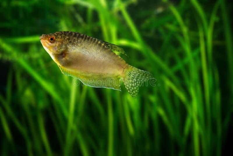 Gorami nero del miele - pesce tropicale dell'acquario fotografia stock