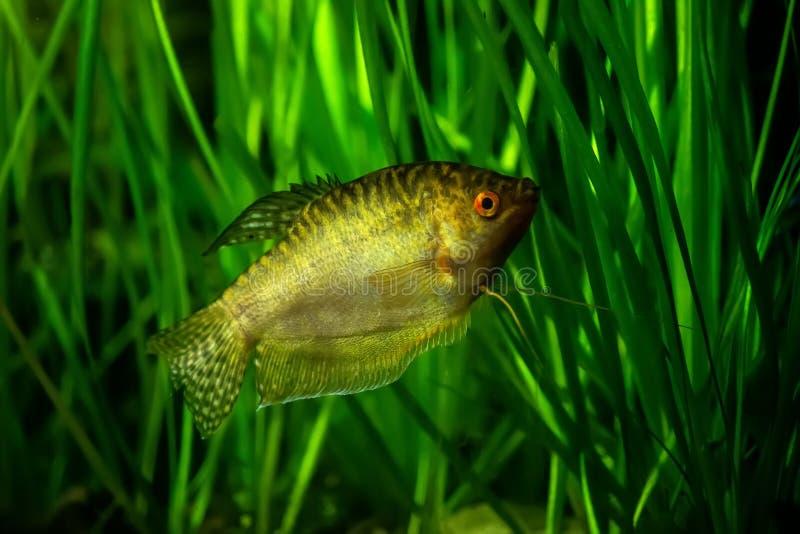 Gorami nero dorato - pesce tropicale dell'acquario immagini stock