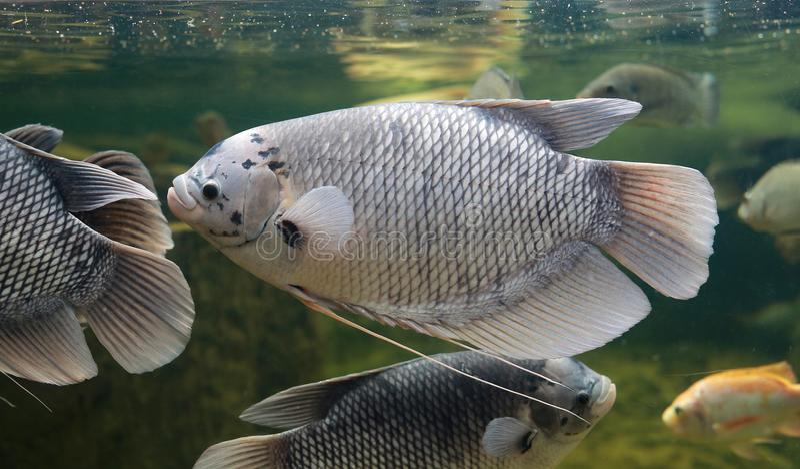 Goramy Schwimmen riesige Gouramifische Osphronemus im Aquariumbehälter stockbilder