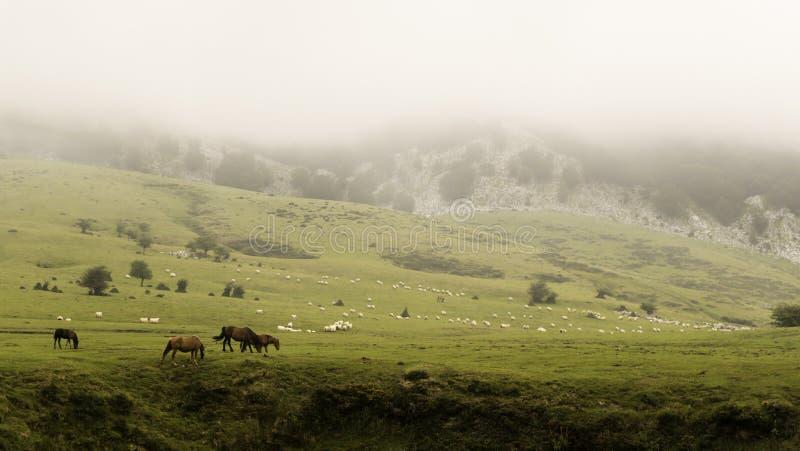 Gorbeabergketen, met mist, in Baskisch Land, met kudde van koeien en schapen op weide stock foto's