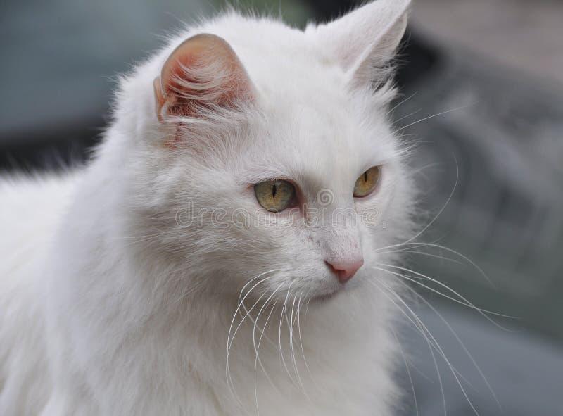 Gorceous White Angora Cat stock photo