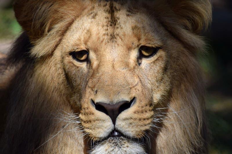 Gordo retrato del joven Katanga cerró la cabeza del león imagen de archivo