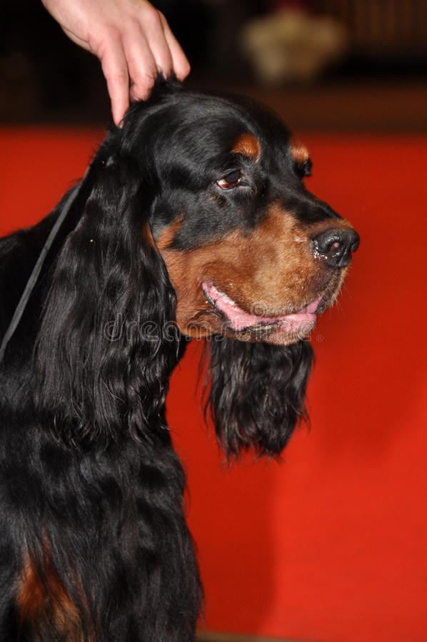 Download Gordon Setter dog stock image. Image of obedient, black - 39513405
