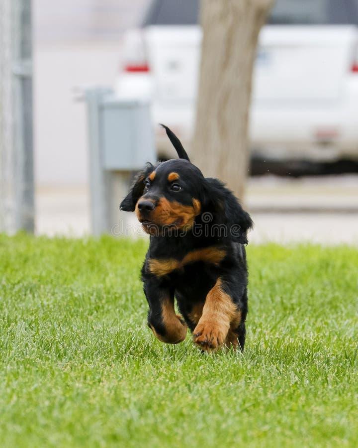 Gordon Setter Puppy imagens de stock royalty free