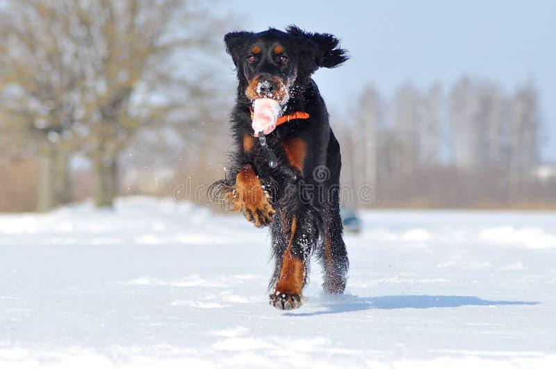 Gordon Setter tycker om vinter fotografering för bildbyråer