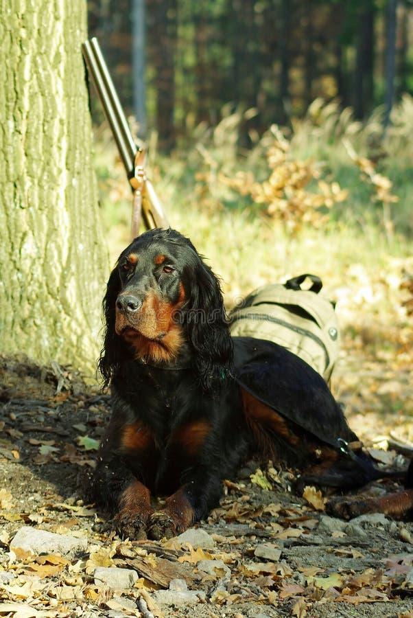 gordonsetter psi polowanie zdjęcie stock