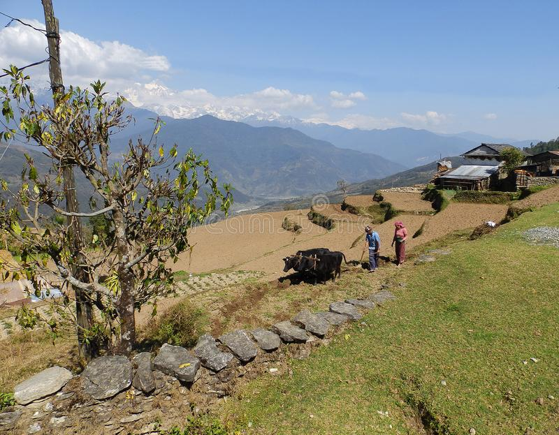 Gorepani, Nepal. April 5,2015: Husband and wife plow the land with cows. Near their hoose stock image