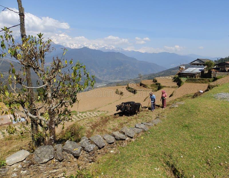 Gorepani, Nepal Kwiecie? 5,2015: M?? i ?ona orzemy ziemi? z krowami obraz stock