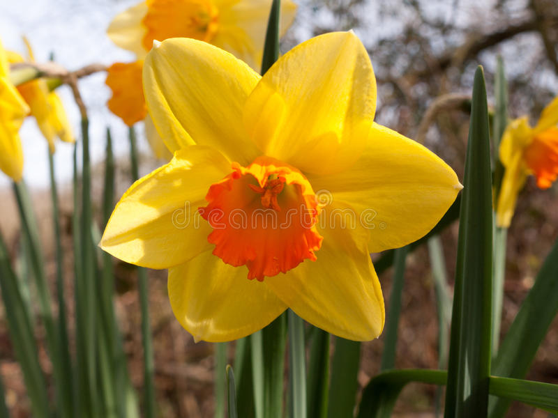 Gorgeoue Yellow Daffodils Up Close in Spring. Gorgeous daffodils blooming in full in spring royalty free stock image