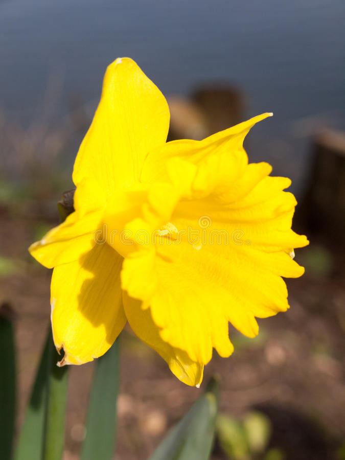 Gorgeoue Yellow Daffodils Up Close in Spring. Gorgeous daffodils blooming in full in spring stock photos