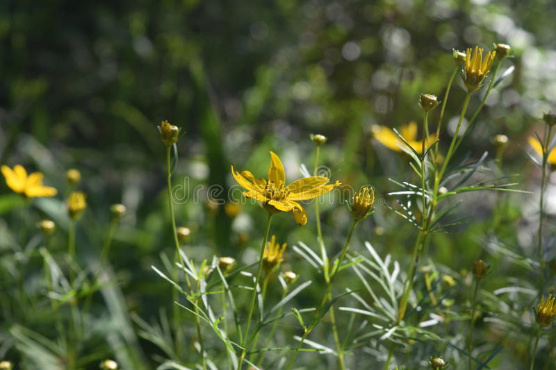 Gorgeous Abundance of Yellow Coreopsis Flowers Blooming In Spring stock photos