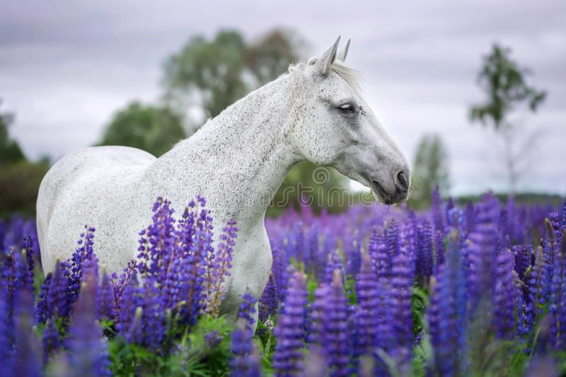 Portrait of a grey horse among lupine flowers. royalty free stock photos