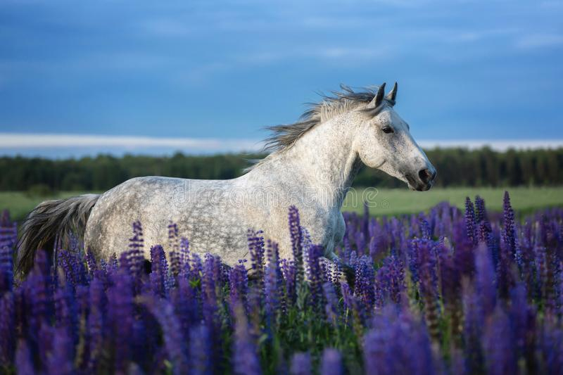 Portrait of a grey horse among lupine flowers. stock photos