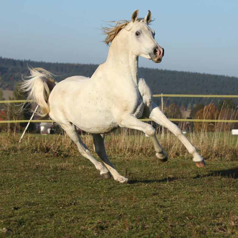 Gorgeous arabian horse running on autumn pasturage. Gorgeous white arabian stallion running on autumn pasturage royalty free stock photo