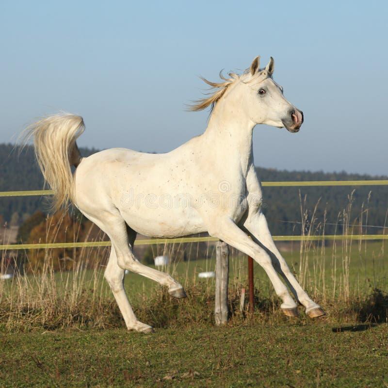 Free Gorgeous Arabian Horse Running On Autumn Pasturage Royalty Free Stock Photography - 35041127