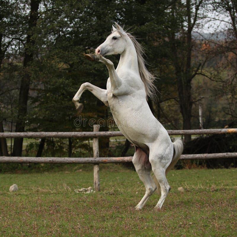 Download Gorgeous Arabian Stallion Prancing Stock Photo - Image: 35041154