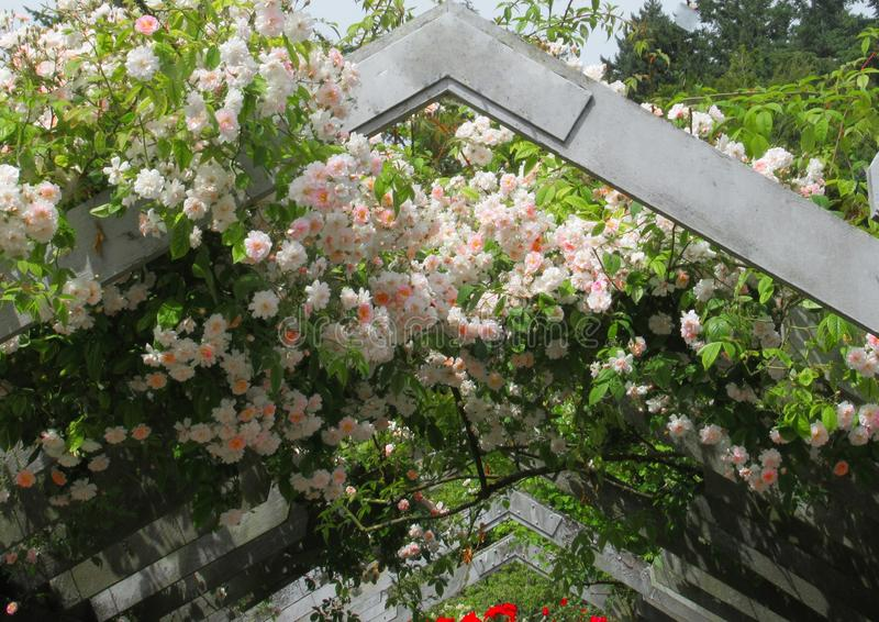 Gorgeous Attractive Pink Rose Flowers growing on Arbor In The Park Garden stock photos