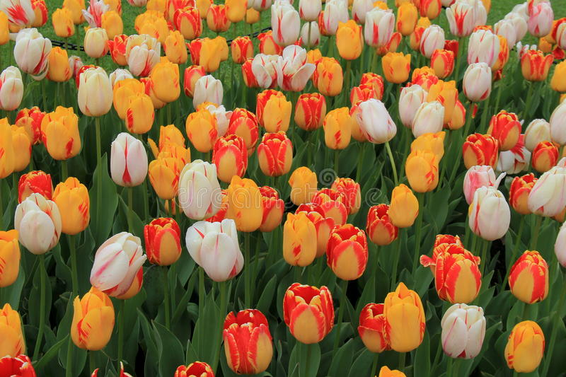 Gorgeous background of tulips in backyard garden royalty free stock images