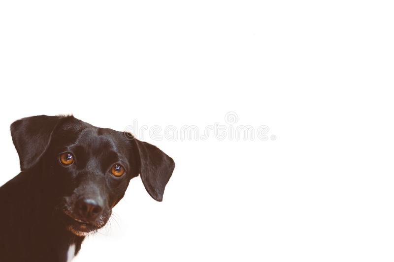 Gorgeous black dog looking attentively forward and white background. Space for text. Man's best friend royalty free stock image