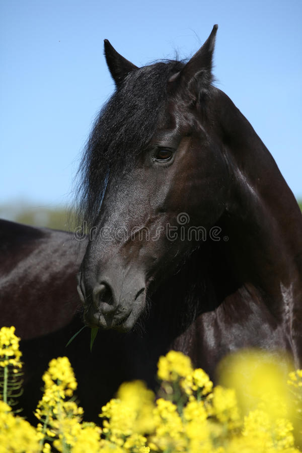 Gorgeous black friesian horse in colza field royalty free stock image