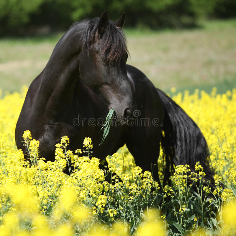 Gorgeous black friesian horse in colza field royalty free stock photography