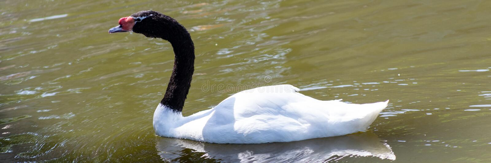 Black Necked Swan Cygnus melancoryphus is a swan that is the largest waterfowl native to South America royalty free stock photo