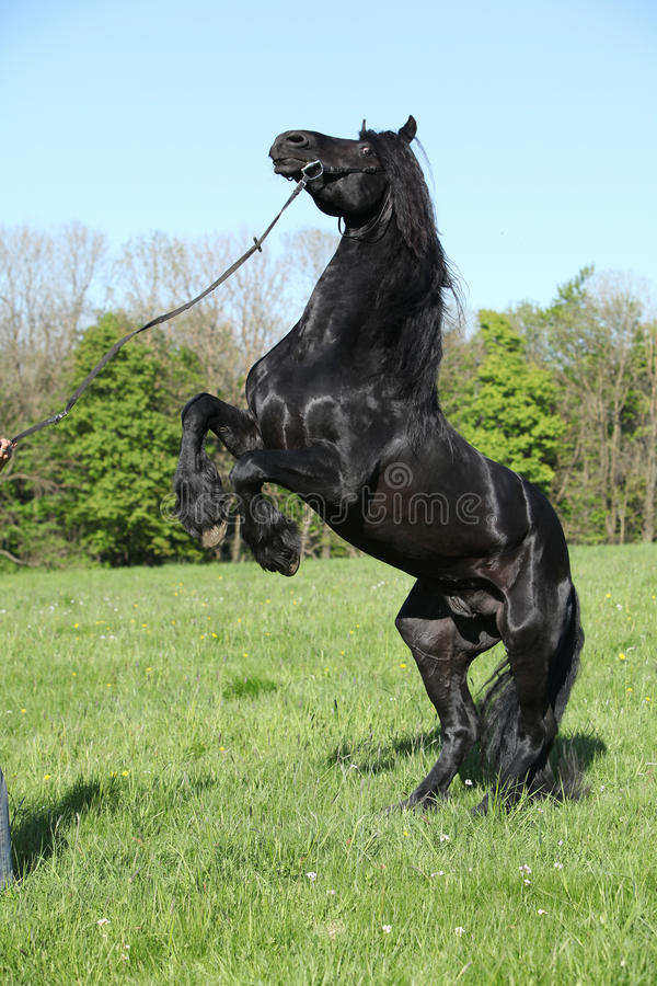 Gorgeous black stallion prancing stock photo