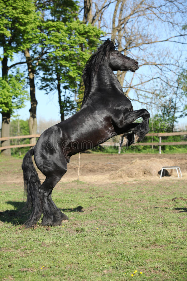 Gorgeous black stallion prancing royalty free stock images