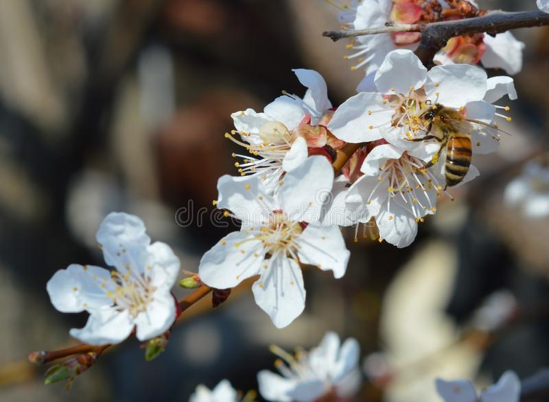 Gorgeous branch of apricot with white flowers and a little bee. Simple beauty of nature. Gorgeous branch of apricot with white flowers and a little bee stock images