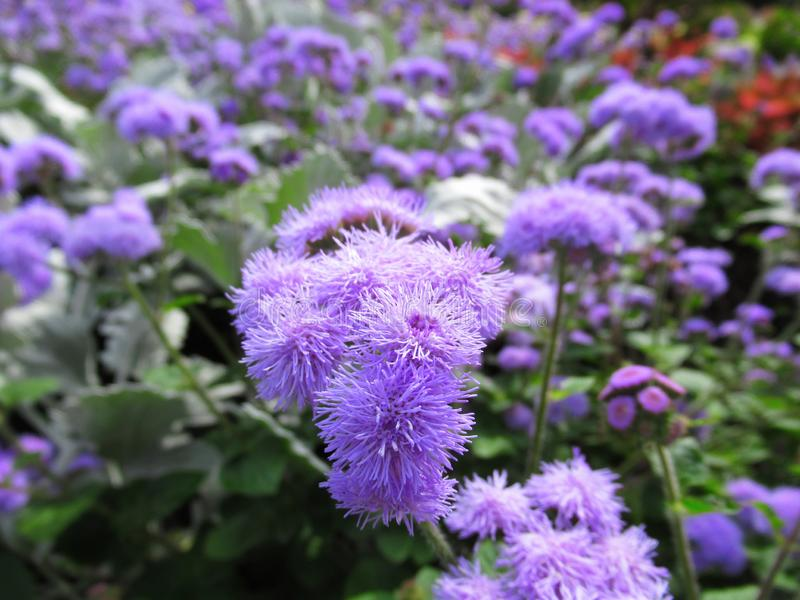 Gorgeous Bright Closeup Light Purple Aster Flowers At Stanley Park Perennial Garden, British Columbia. In August 2019 royalty free stock images